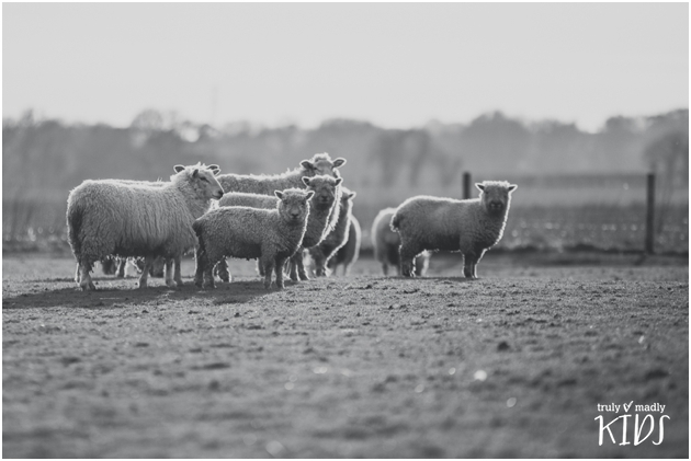sheep, field, farm