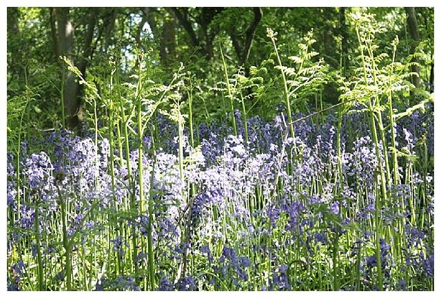 bluebells, bluebells at Hatchlands