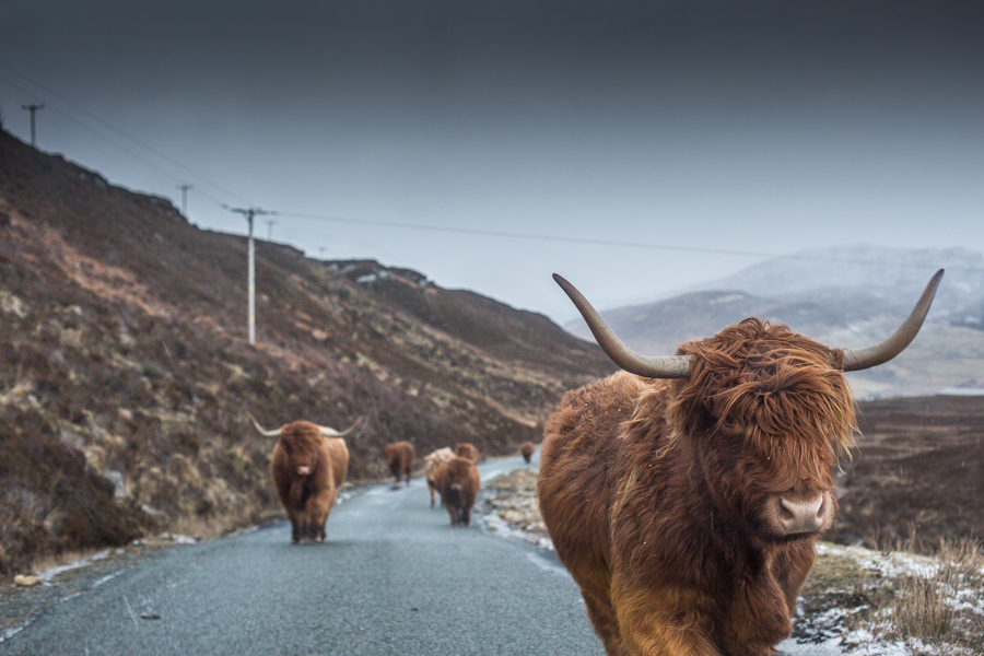 Elgol January cows-4