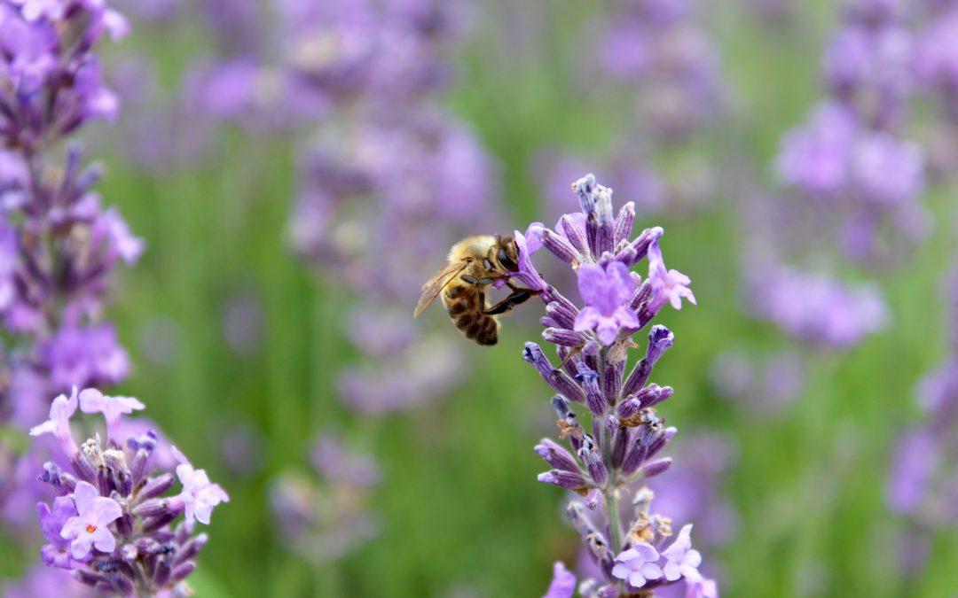 Exploring London: Mayfield Lavender Farm