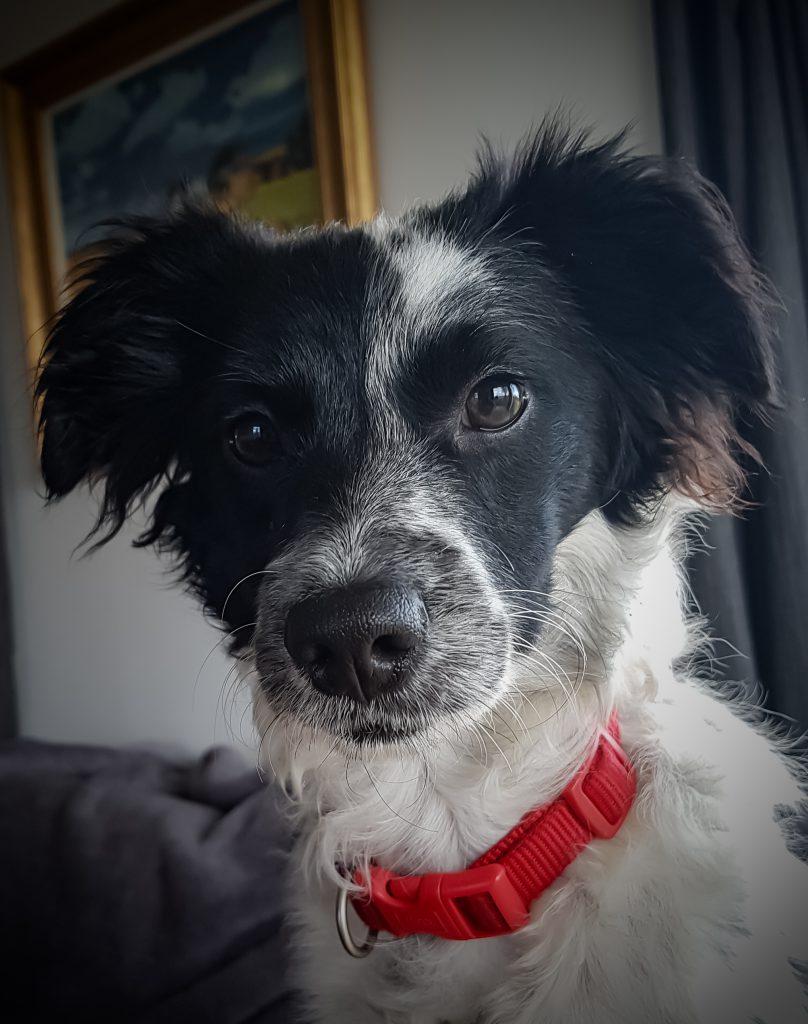 Kokoni x poodle puppy portrait